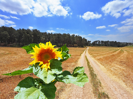 grew: Gorgeous large sunflower grew up on the field after harvest Stock Photo