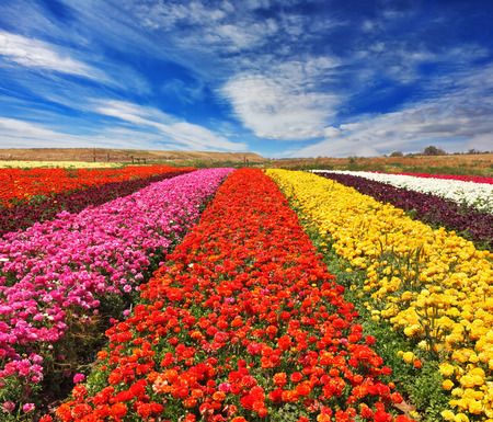 """Field of multi-colored decorative buttercups """"Ranunculus Bloomingdale"""". Flowers planted with broad bands of bright colors - red, yellow, pink and purple"""