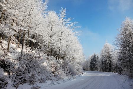 knurled: Christmas morning. Snowy winter forest and knurled wide trails.