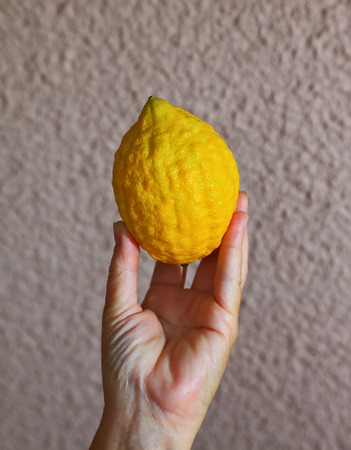sukkoth festival: Ritual yellow citrus - etrog in a female hand. Autumn harvest festival in the Jewish tradition - Sukkot