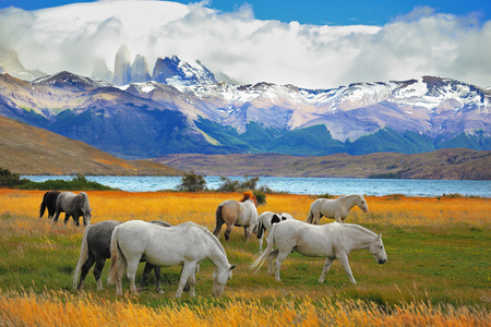 Beautiful white and gray horses grazing in a meadow near the lake. On the horizon, towering cliffs Torres del Paine Imagens