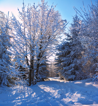 winter's tale: Sunny morning of Christmas in a snowy forest. The Winters Tale