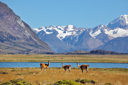 Bible landscape - a field, lake and snow-capped mountains in the distance. In the foreground are grazing guanaco. Patagonia photo
