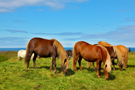 ranging: Charming horses on free ranging on the beach. July in Iceland