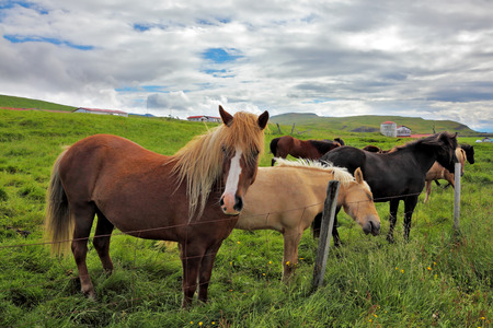 ranging: July in Iceland. Charming horses on free ranging on the beach