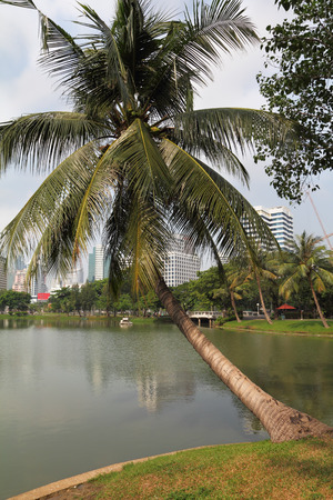 bent over: The palm tree was bent over lake. Park in the center of Bangkok