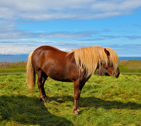 sleek: Iceland in July. Farmer sleek bay horse with a light mane Stock Photo