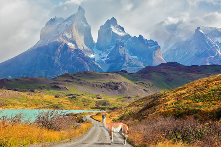 Majestic peaks of Los Kuernos over Lake Pehoe. On a dirt road is worth guanaco - Lama. The national park Torres del Paine, Patagonia, Chile