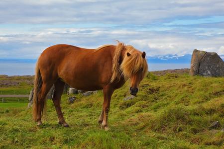 sleek: Iceland in July. Farmer sleek horse. Beautiful horse grazing in a meadow near the farm