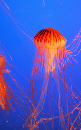 feelers: Yellow-orange jellyfish with thin feelers. Aquarium with bright blue water