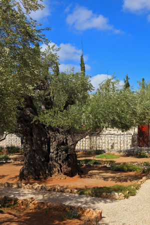 mount of olives: Ancient Jerusalem. Small garden of Gethsemane at the foot of the Mount of Olives. Location prayer of Jesus on the night of his arrest