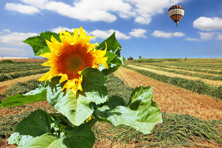 kibbutz: Giant colorful balloon flying in the cloudy sky above the kibbutz field and a great big sunflower Stock Photo