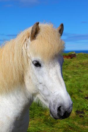 sleek: Portrait of a white horse with brown ears. Iceland in July. Farmer sleek horse Stock Photo