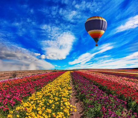 air transport: Large field of colorful buttercups. Spring windy day on the farm. In the sky flying scenic balloons