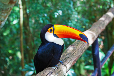 birds eye: Large bird with bright plumage and a huge yellow beak. Toco toucan in a zoo of exotic tropical birds