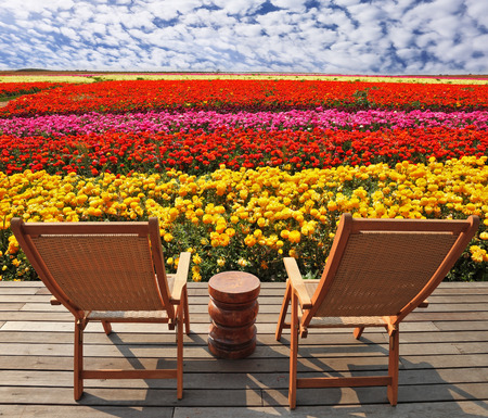 lounge chairs: Field of multi-colored decorative buttercups Ranunculus Bloomingdale. Comfortable lounge chairs on wooden platform for rest and observation
