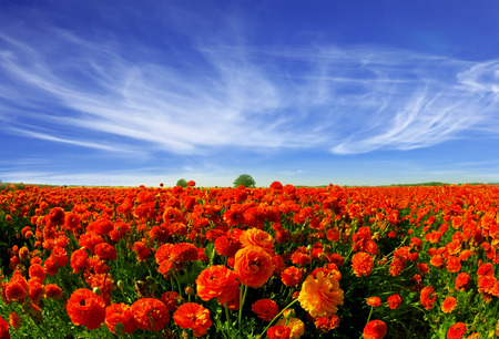 kibbutz: Magnificent field of bright red buttercups. Kibbutz grows beautiful garden buttercups for sale abroad Stock Photo