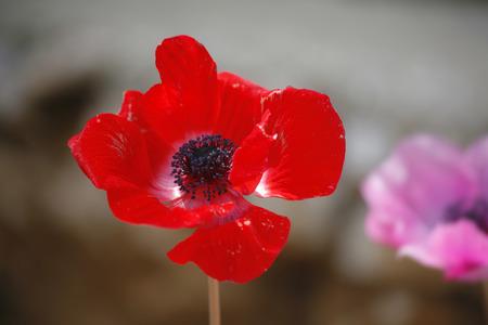 champ de fleurs: Charmant domaine fine fleurs Anemone sur le fond flou Banque d'images