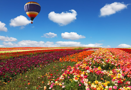 kibbutz: The huge balloon flying over colorful floral field. Flowers and seeds are grown for export in Israel kibbutz fields