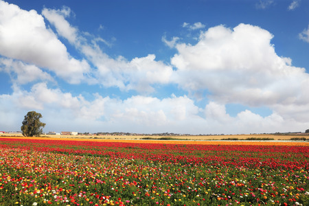 kibbutz: Spring flowering. Huge fields of large colorful buttercups and ranunculus grow in kibbutz in southern Israel. Stock Photo