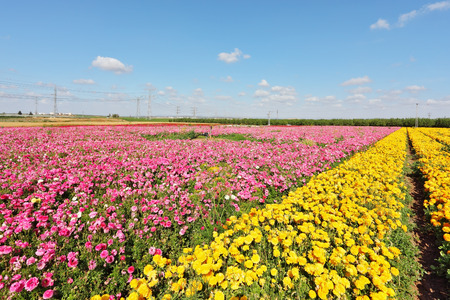 kibbutz: Kibbutz fields with bright flowers Ranunculus. Israeli spring. Flowers are grown for export