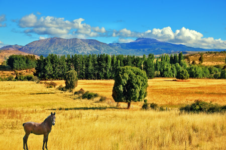 grazed: The fields after the harvest. On the side is green avenue of trees. The farmer horse is in the field grazed. South America, Chile