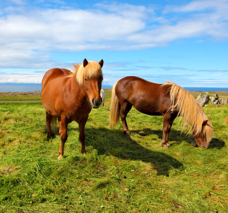 manes: Two Icelandic horses with yellow  manes on a free pasture. Summer in Iceland Stock Photo
