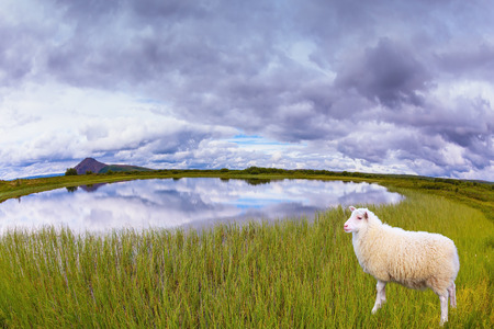 conservation grazing: White Icelandic sheep grazing in the meadow. Summer Iceland. Small lake surrounded by green fields
