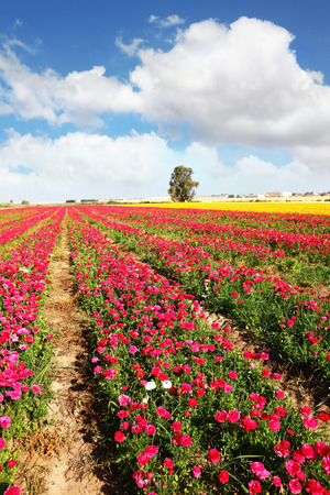 kibbutz: Spring flowering. Huge fields of large peony garden ranunculus grow in kibbutz in southern Israel.