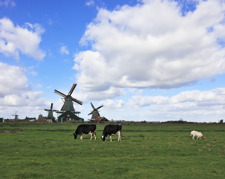 are grazed: On the green grass meadows grazed cows. In the distance the windmills. Charming Pastoral Stock Photo
