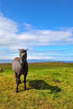 sleek: Farmer sleek gray horse. Beautiful horse grazing in a meadow near the farm. Iceland in July