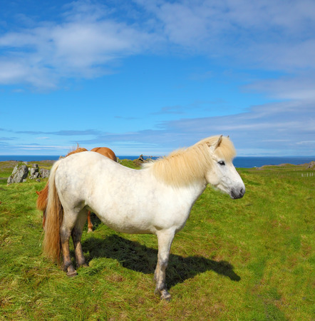 sleek: Portrait of white horse with brown ears.  Farmer sleek horse.  Iceland in July