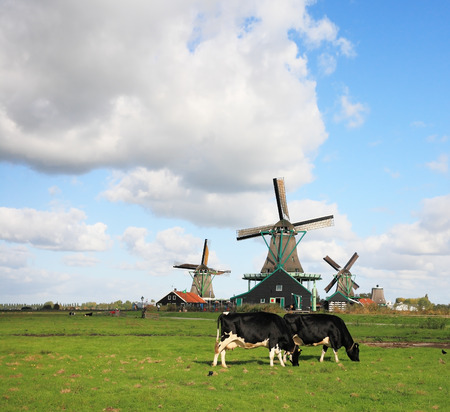 corpulent: Green grass field with windmills, which graze groomed corpulent cow