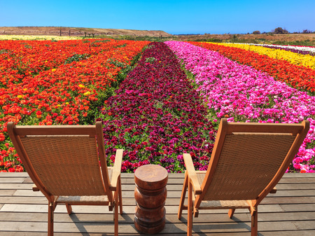 lounges: The spring blossoming buttercups  grow multi-colored strips. Two chaise lounges for rest stand on a scaffold at a picturesque flower field