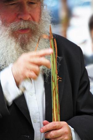 brak: Bnei Brak - September 22: An old orthodox Jew with a white beard chooses ritual plant Lula before Sukkot September 22, 2010 in Bnei Brak, Israel