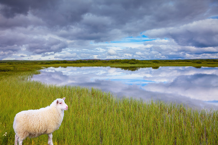 conservation grazing: Summer Iceland. Small lake surrounded by green fields. White Icelandic sheep grazing in the meadow