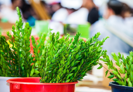 sukkot: The pre-market Sukkot in Jerusalem. The branches of  plant to ritual Jewish religious holiday of Sukkot - myrtle