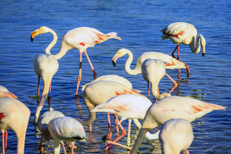 forage: Sunset in national park of Kamargue.  Delta of Rhone, Provence, France. Pack of pink flamingos look for a forage in lake Stock Photo