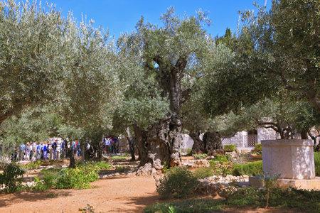 bustling: JERUSALEM, ISRAEL - OCTOBER 23, 2010: Garden of Gethsemane. Bustling walking tour through the trees