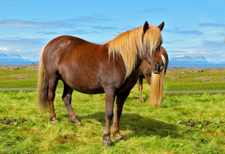 sleek: Farmer sleek bay horse with a light mane. Warm summer day in Iceland. Green lawn on the shores of the fjord