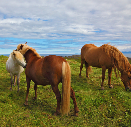 ranging: Beautiful and well-groomed horse chestnut and white suit on free ranging. Icelandic horses on the shore of the fjord Stock Photo