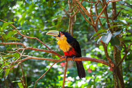 large bird: Large bird with bright plumage and a huge beak. Toucan in the South American zoo of exotic tropical birds
