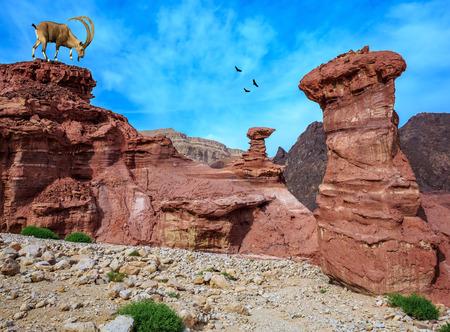 eilat: Sharp-horned mountain goat in the Eilat Mountains. Unique  outcrops  in the mountains of pink sandstone