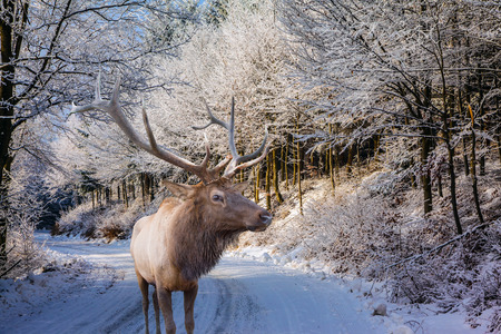 snow scene: Sunny day at Christmas. The snow-covered road in the northern wood. The red deer with branchy horns costs on a skiing run Stock Photo