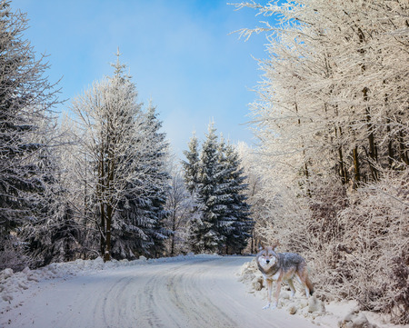 ski runs: Bright Christmas morning. Ski trail runs along the road in the snowy forest