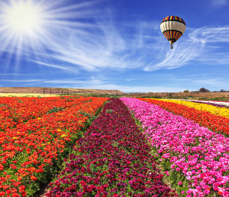 bright colors: Spring windy day. Huge balloon flies over a field. Field of blooming buttercups- ranunculus. Flowers planted with broad bands of bright colors - red, claret and pink
