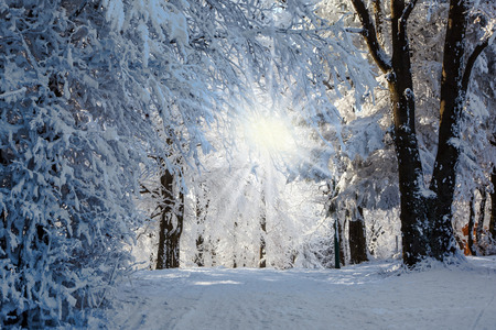 rural scenes: Forest glade, covered with snow, sunny Christmas morning