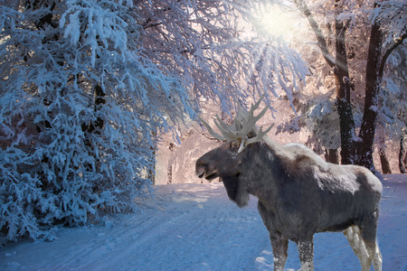 Christmas forest in the snow. Pink morning in a forest glade with traces of skis. Magnificent Moose went for walk
