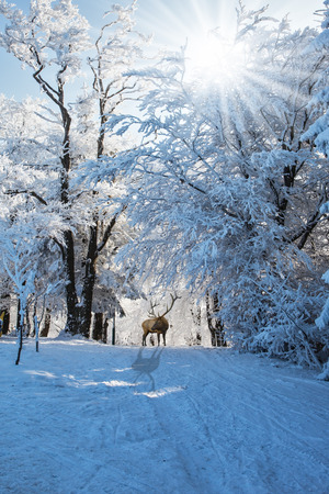 Early morning in forest glade with traces of skis. Red deer antlered went for walk. Christmas forest in the snow