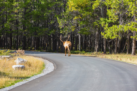 leisurely: Red deer leisurely out into the woods on the asphalt road